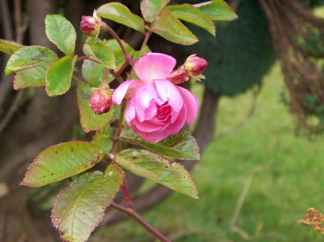 Miniture pink winter Rose