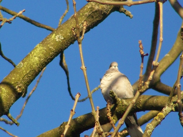 Wood Pigeon high in a tree