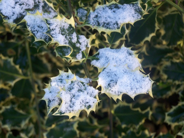 Holly with A dusting of snowfall on it
