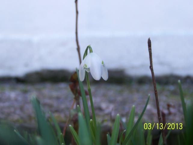 A lone Snowdrop