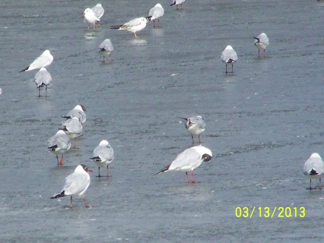 Seegulls practicing their ice skating skills