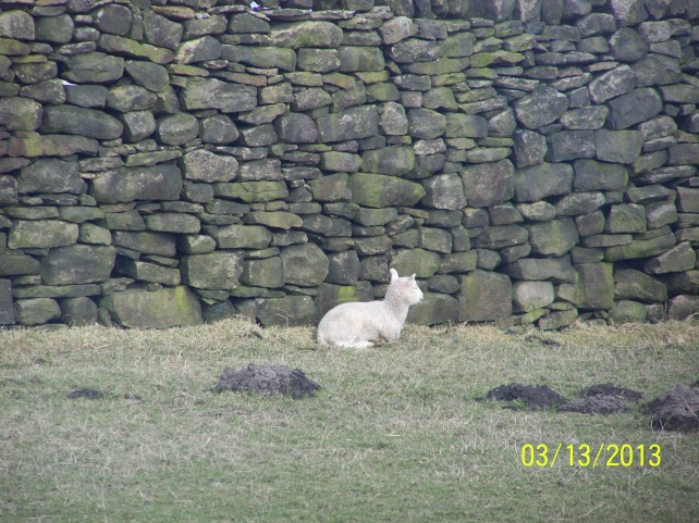 I set out this morning to look and see if there was any Lambs yet mission complete